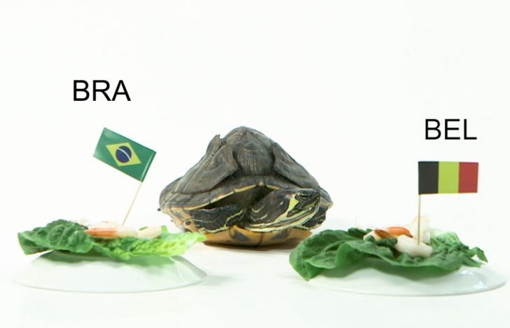 Bruņa bruņurupucis prognozē: Kas uzvarēs Brazīlijas – Beļģijas duelī?